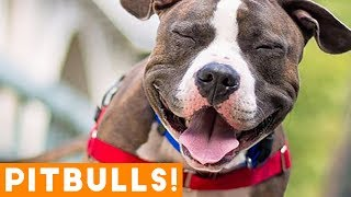 Ultimate Pitbull Compilation 2017 | Cutest Funny Pitbull Videos Ever