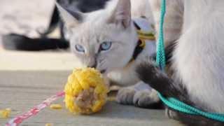 Тайские Коты точат кукурузу)