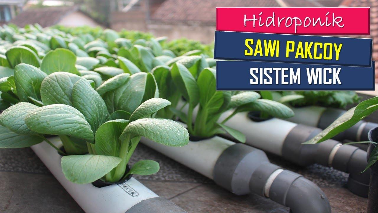 Cara menanam sawi pakcoy hidroponik   Grow Pak Choi from seed - YouTube
