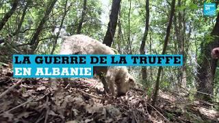 La guerre de la truffe en Albanie