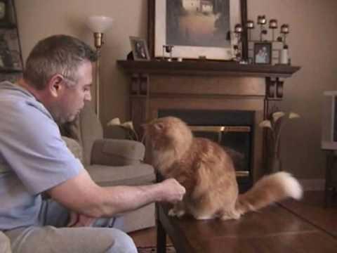 Maine Coon cat tricks
