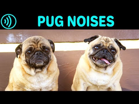 pug-noises---barking,-screaming,-groaning,-breathing,-yelling-sounds-and-sound-effect-of-a-pug-dog