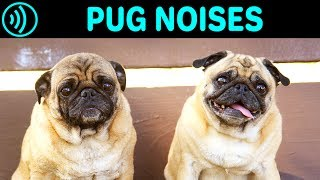 PUG NOISES - Barking, Screaming, Groaning, Breathing, Yelling Sounds and Sound Effect of a Pug Dog