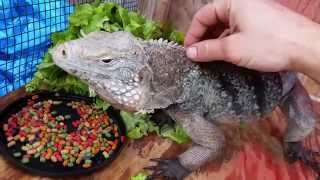Grand Cayman Blue iguana eating Rep-Cal dry food