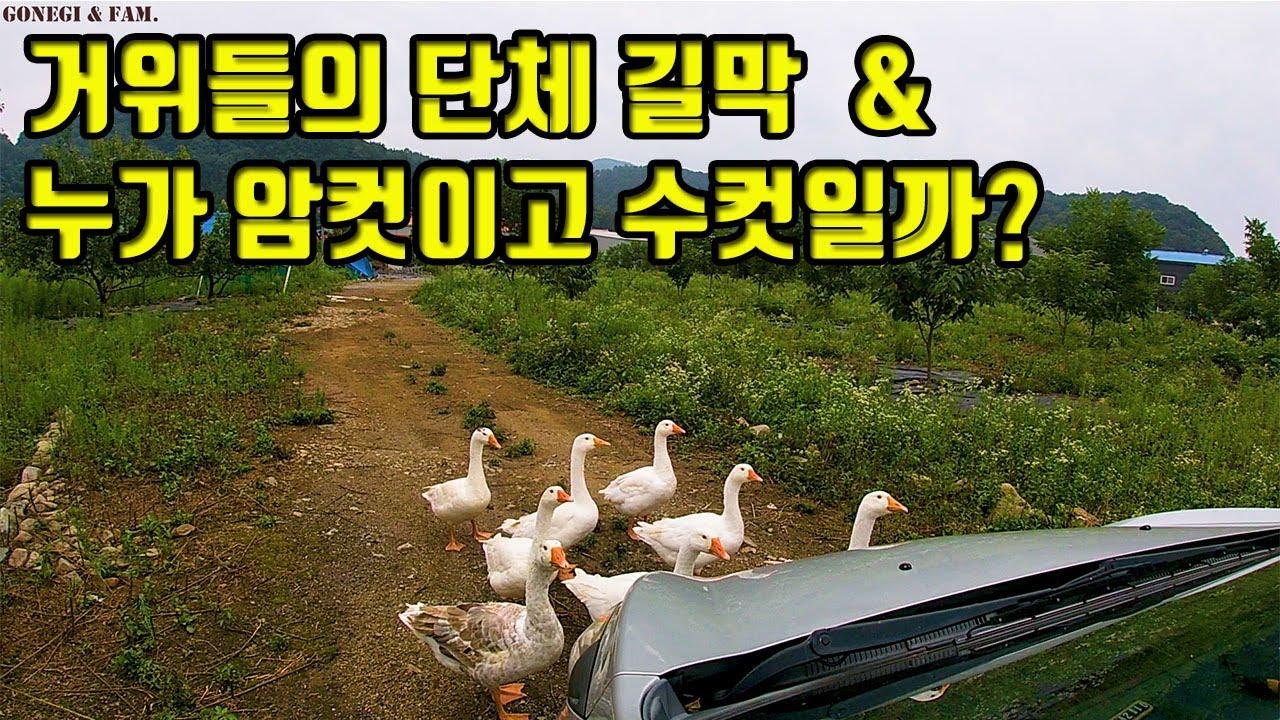 (나레이션) #62.거위들의 단체 길막 & 누가 암컷이고 수컷일까? (# 거위, 고양이)