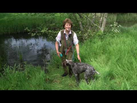 Training young German shorthaired Pointer on early water retrieves