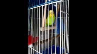 Очень смешное видео! Когда у попугая апрель и крылатые качели