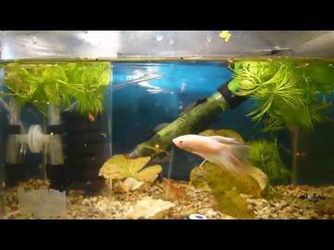 Kampffisch Betta Halfmoon Youtube