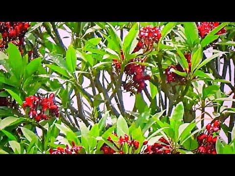 Plumeria rubra or Red Chamfa or  चाफ़ा (Marathi), Chaempae चँपें (Konkani)