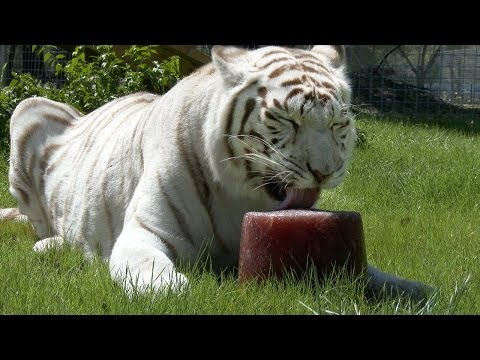 Big Cat Popsicles!