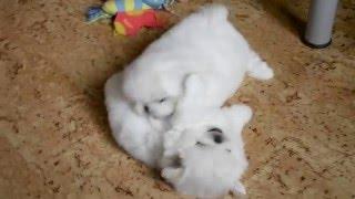 Питомник пекинесов САВЕЛИНА - щенки на продажу