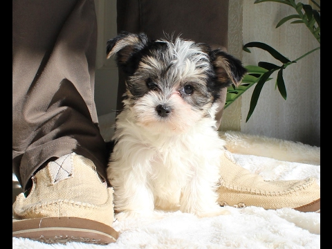 The CUTEST MORKIE FEMALE Puppies for sale