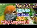 Suara Pikat Burung Kecil Liar Terbaru Anti Zonk Di Jamin Paling Ampuh Prenjak Sogon Kolibri Cipoh  Mp3 - Mp4 Download