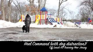 Lab Puppy Off Leash Obedience Training New Jersey