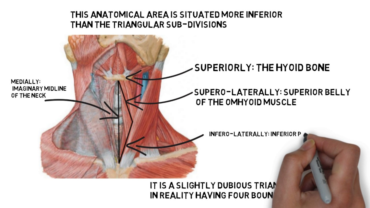 muscular triangle( inferior carotid triangle) - YouTube