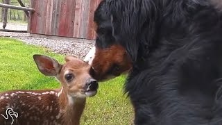Man Finds Abandoned Baby Deer And Makes Her A Little Cast