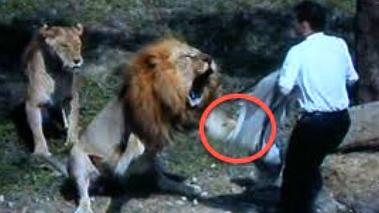 lion attack The shocking moments when several lions attacked their trainers at a ukraine circus have been caught on camera and posted on the internet in scenes reminiscent more of a gladiatorial contest.