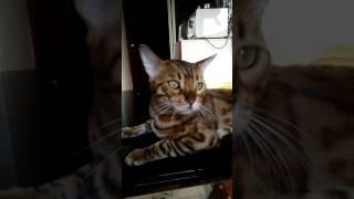 Бенгальский кот Тристан, 10.08.2017 глава семейства