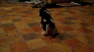 Beagle Welpen Ab 08.12.09 Abzugeben