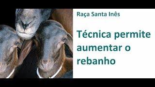 Tecnologia permite partos múltiplos em ovelhas Santa Inês