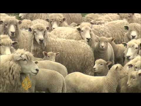 New Zealand sheep farming industry facing crisis