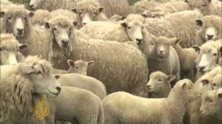 New Zealand sheep farming industry facing crisis