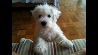 My White Miniature Schnauzer Puppy Asking For Food His Own Way