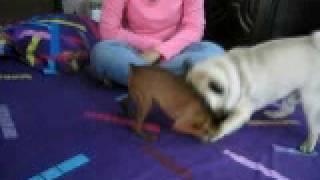 Pug Min-pin Wwf