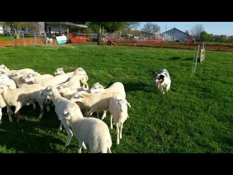 Conway lambs