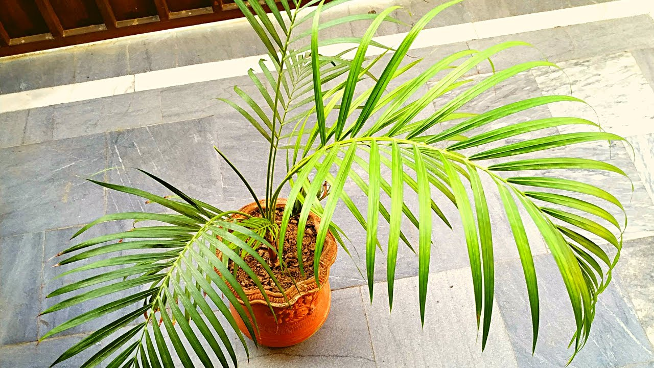 Areca Palm Brown Tips Leaves Reasons And Care Youtube