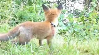 Kiara - The Pet Red Fox Cub - In Loving Memory