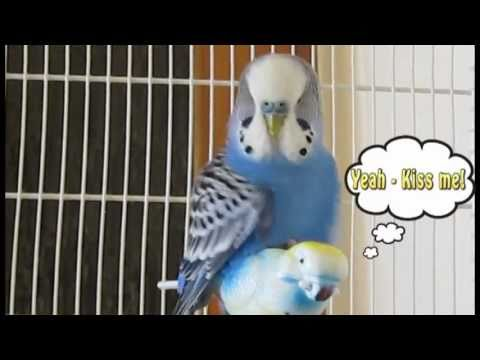 Randy Budgie Syndrome - Budgie Health