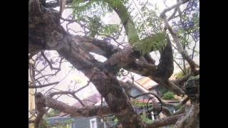 Tree Stress and Abuse: Jacaranda in a tangled mess