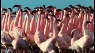 Танго фламинго