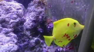 Морские рыбки Зебрасома желтая, Спинорог, Хризиптера!