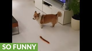 Corgi plays with remote controlled centipede
