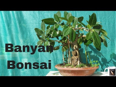 How to Grow Banyan Bonsai/Aerial Roots/ Bonsai Hunter