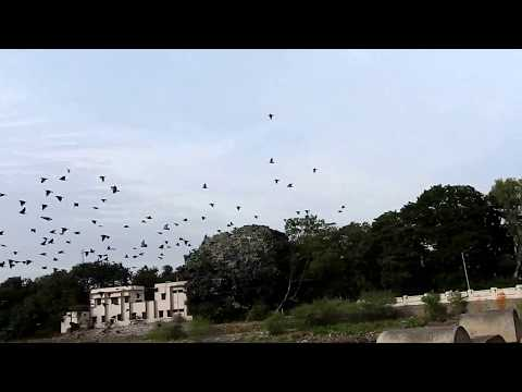 Flock of Rosy Starlings