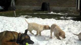 Labrador Puppies For Sale!!