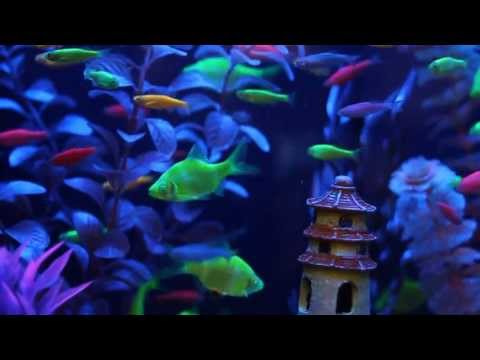 GloFish® Fluorescent Fish Video! (Includes Our New GloFish Tetras!)