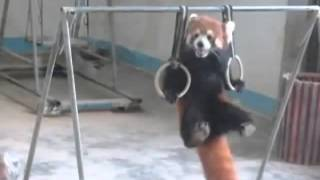 Red panda working out