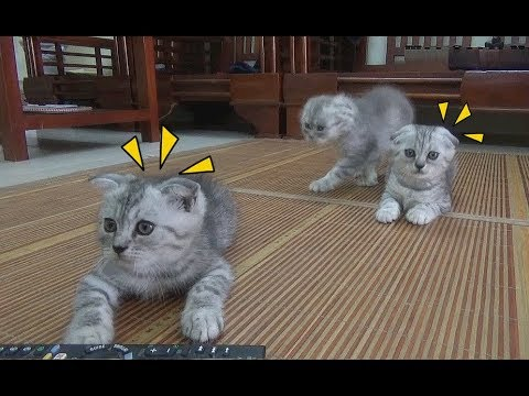 Kittens And Mother Cat Play Around Home   Funny Cat And Kittens 2018   Meo Cover Home