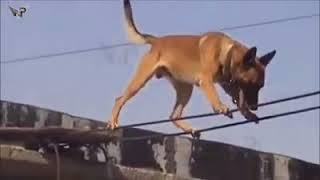 Belgian Malinois  aka 'Maligator' seal dog police K9