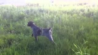 Hunting Pheasant    Www.huntinginromania.com