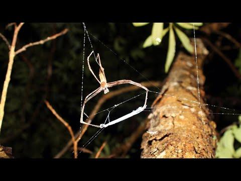 Ogre-faced, net-casting spiders catch prey in dark of night