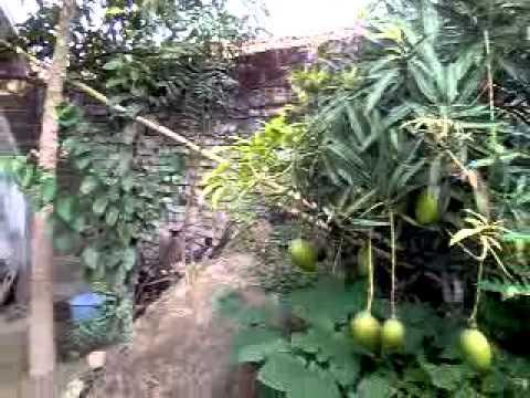 Dwarf Mango Tree Youtube