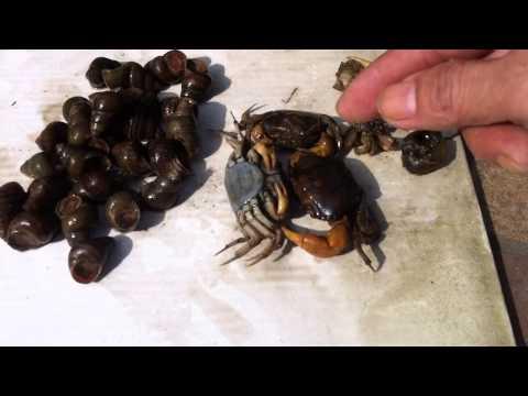 Fishing - How to make Black Carp Bait (3) Mồi câu Trắm Đen - cua đồng