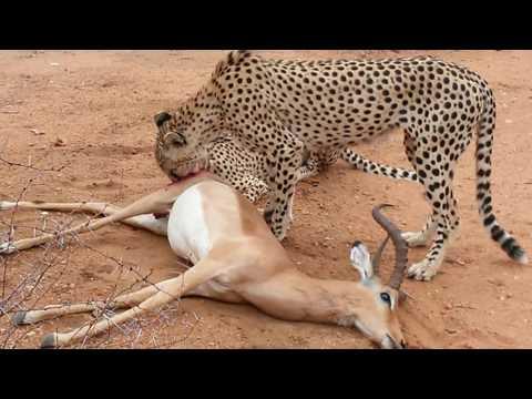 Cheetha kill Kruger National park