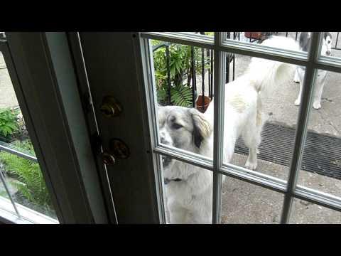 Anatolian Shepherd-Great Pyrenees Dog Opens Door from Outside