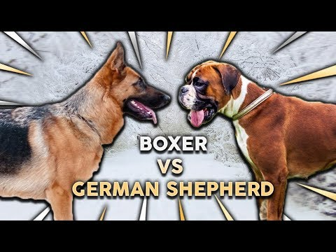 GERMAN SHEPHERD vs BOXER! What's The Best Family Guard Dog?